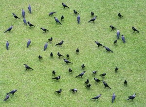 ...and also now that the putting green belongs to the crows... (wikimedia)