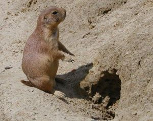 more prairie dog than plow mule...  (wikimedia)