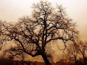 the oak seems to be writing something... (wikimedia)
