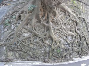 root system from wikimedia