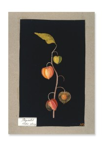 """Winter Cherry"" by Mary Granville Pendarves Delaney, image here."