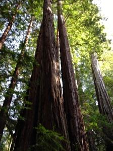tall, tall tree