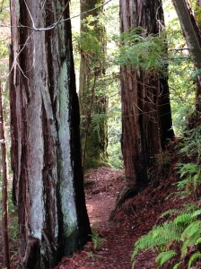 redwood with moss