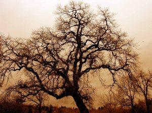 oak tree (wikimedia)