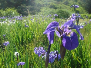 Wild_purple_Iris_on_the_Kodiak_Archipelago,_Alaska_2009_200